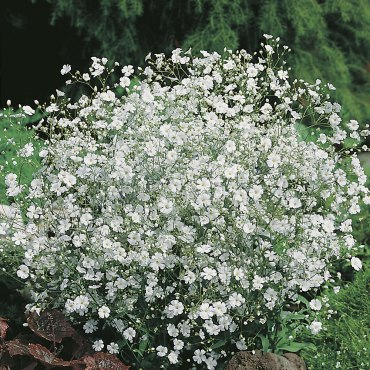Baby's Breath (Our Lady's Veils)